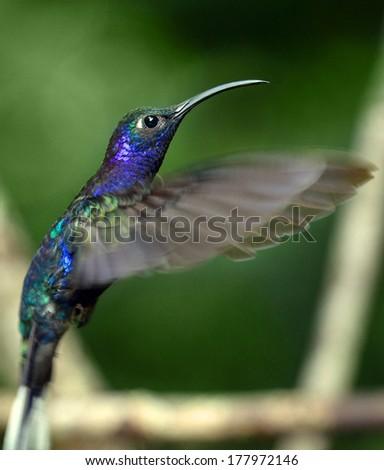 Beautiful hummingbird hovering in mid air #177972146