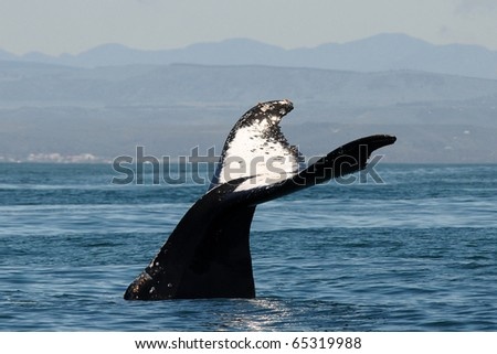 beautiful humpback