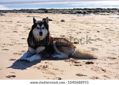 beautiful husky dog on the beach