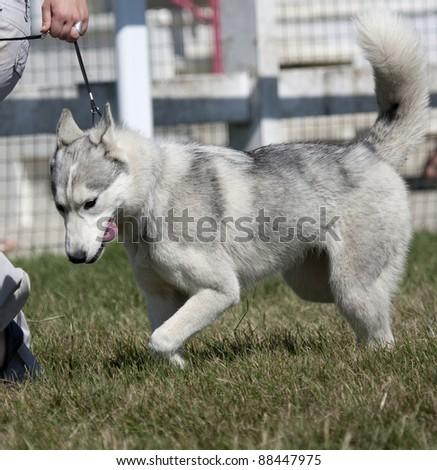 Beautiful Husky is walking on the grass. He is kept on a lead.