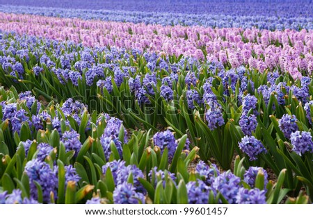 Beautiful hyacinth fields in Holland