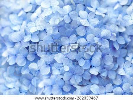 beautiful hydrangea floral background in blue colors