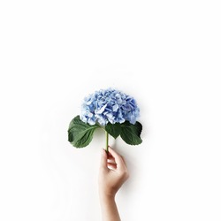 beautiful hydrangea flower in girl's hand isolated on white background. flat lay, top view