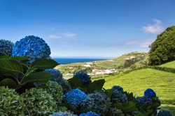 Beautiful hydrangea flowers close up and green hill with white houses and ocean background on Sao Miguel Island, Azores, POrtugal