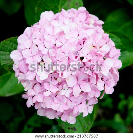 Beautiful hydrangea plant with pink flowers
