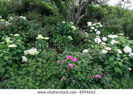 beautiful hydrangeas and plants in garden