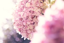 Beautiful hydrangeas flowers background with magical backlight. Ethereal nature background. Selective focus.