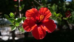 Beautiful Ibiscus Flower