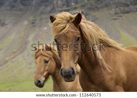 Beautiful Icelandic horses
