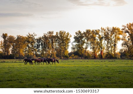 Beautiful idyllic atmosphere on pasture at autumn season. Herd of thoroughbred horses. Grazing horse family outdoors #1530693317