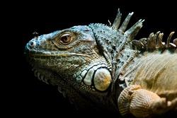 beautiful iguana portrait against black bacground