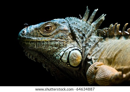 beautiful iguana portrait against black bacground