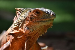 beautiful iguana red orange colored herbivorous lizards looking closeup