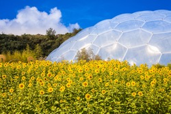 Beautiful image of a field full of stunning golden yellow sunflowers with the Eden Project biome in the background on a brilliant summer day. Fresh outdoors concept. Cornish vista. Cornwall tourism.