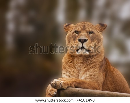 Beautiful image of a lioness relaxing on a warm day