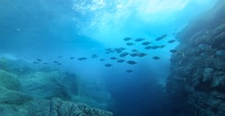 Beautiful image of big fish school swimming under the sun beam in the Mediterranean Sea, at the Ikaria island