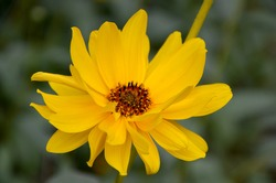 beautiful image of cosmea yellow flower in the garden close-up