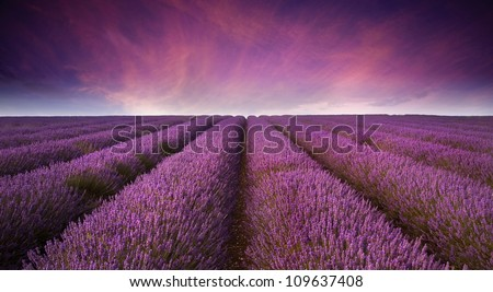 Beautiful image of lavender field Summer sunset landscape