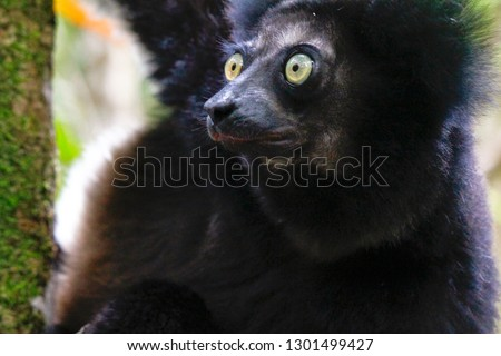 Beautiful image of the Indri lemur (Indri Indri) sitting on tree in Madagascar