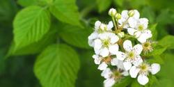 Beautiful in spring bloom garden. Raspberry bush with white flowers. Flowering rubus, panorama