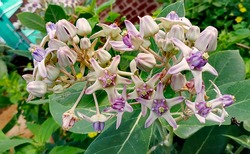 Beautiful Indian Crown flowers. These flowers are used in Lord Siva and Goddess Kali Temple.