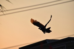 beautiful Indian peacock flying at sunset