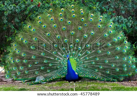 Beautiful indian peacock with fully fanned tail