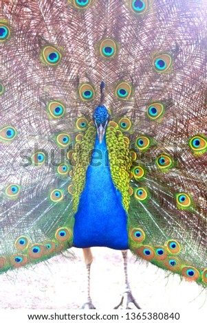 beautiful indian peacock with peacock feathers in the peacock's tail #1365380840