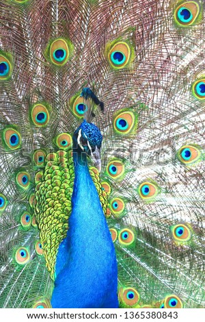beautiful indian peacock with peacock feathers in the peacock's tail #1365380843