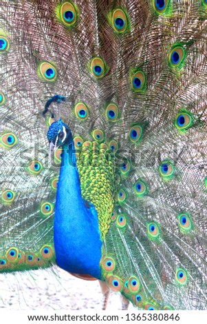 beautiful indian peacock with peacock feathers in the peacock's tail #1365380846