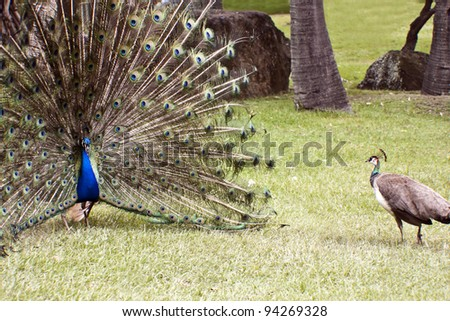 Beautiful indian peacocks in courtship  the male is  with fully fanned tail