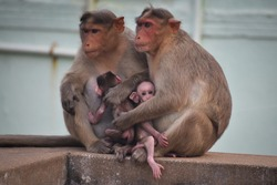 beautiful indian Rhesus Macaque Mother Monkey Feeding her Baby and showing emotions Adult monkey taking care of baby monkey relaxing in wall looking for food