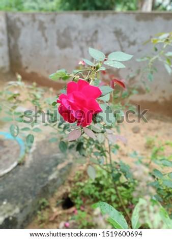 beautiful indian Rose Pic so pretty