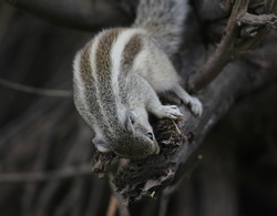 Beautiful Indian three striped palm squirrel. brown squirrel eating from dry branch  macro photo. Focusing brown three lines of squirrel.