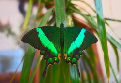 Beautiful Indonesian (Sulawesi) swallowtail butterfly (papilio blumei) resting on palm leaf. Very similar butterflies of this papilionidae family are native to many regions of Southeast Asia.