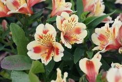 beautiful inka lily in the garden