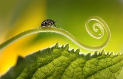 Beautiful insects on a leaf close-up, beautiful glowing background, beautiful light, spiral plant, leaf close-up. Soft dreamy tender artistic image form  for postcard or wallpaper for desktop. Macro