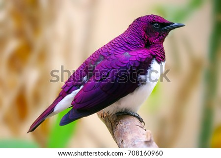 beautiful iridescent shimmering male violet-backed or amethyst starling (cinnyricinclus leucogaster) sitting on a branch