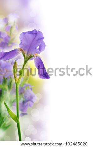 Beautiful iris flower background