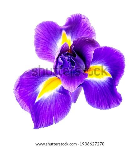 Beautiful iris flower isolated on white background Foto stock ©