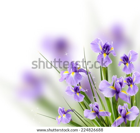 Beautiful iris flower on light background
