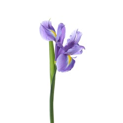 Beautiful iris isolated on white. Spring flower