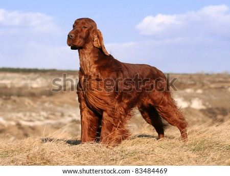 Beautiful Irish Setter standing in the field