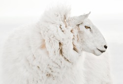 Beautiful isolated ewe sheep portrait close up on white background.Profile view without ear tags. One of the most popular Easter farm  animals in , Australia, NZ and Ireland for wool and meat produce