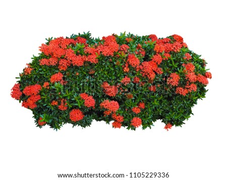 Beautiful Ixora coccinea Red Flowers,Bush isolated on white background,Objects with Clipping Paths #1105229336