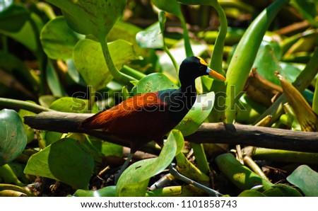 beautiful jacana bird in the mangrove forest of Sierpe, Costa Rica. Zdjęcia stock ©