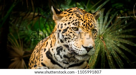 Beautiful Jaguar cat (Panthera Onca) in close up #1105991807