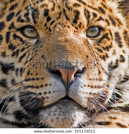 Beautiful jaguar closeup