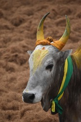 beautiful jallikattu Kangayam cattle bull on pongal harvest festival bull taming sport tamilnadu