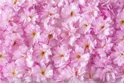 beautiful japanese cherry blossoms background
